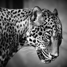 Jaguar Glare B&W by Shawn Thomas - Black & White Animals
