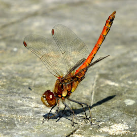 Common Darter by Pat Somers - Animals Insects & Spiders
