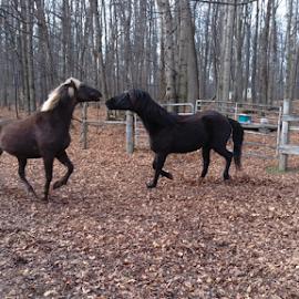 Cool Morning Play by Tina Tippett - Animals Horses ( animals, horses,  )