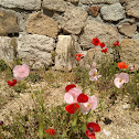 Amapola común / Common poppy.