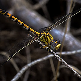 Dragonfly by David Winchester - Animals Insects & Spiders
