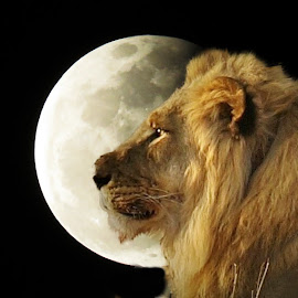 LION by Kurt Haas - Animals Lions, Tigers & Big Cats ( africa, picture the magic, lions, moonlight, predator, nature and wildlife, lion, nature photography, national geographic, national parks )