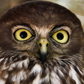 What big eyes you have - Barking Owl by Clarissa Human - Animals Birds ( bird, predator, birds of prey, patterns, owl, yellow, feathers, barking owl, eyes,  )
