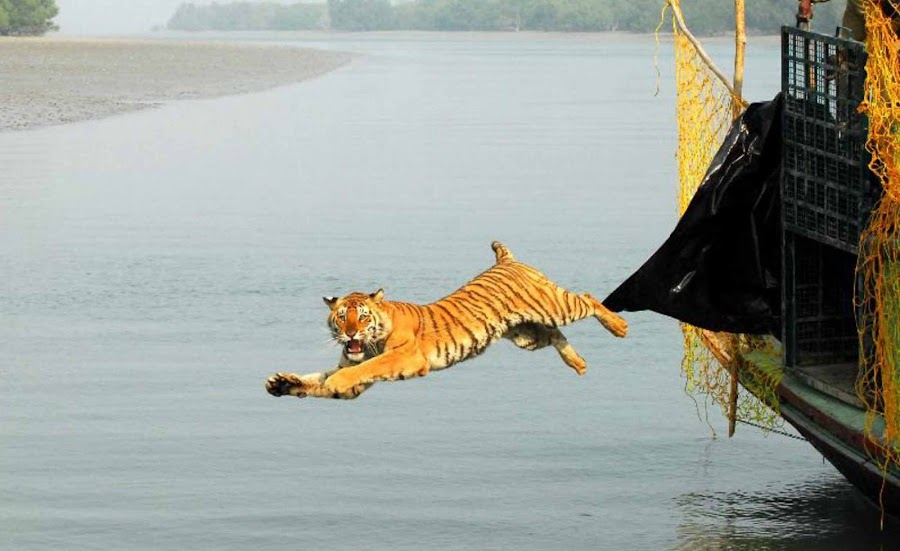 Tiger Release by SUBHRAJIT  Chandra - Animals Other Mammals ( tiger )