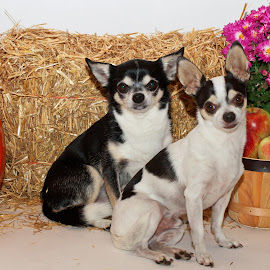 Fall portrait of two Chihuahua's by Debbie Quick - Animals - Dogs Portraits ( studio, hay, flowers, debbie quick, mum, mans best friend, canine, pet photography, portrait, debs creative images, k9, chihuahua, studio photography, fall, animal photography, dog photography, animal, dog, pumpkin, apples, pet )