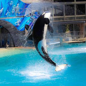 Killer Whale  by Mi Mundo - Animals Other Mammals ( killer whale, whale )