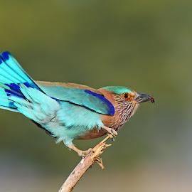 Indian Roller by Devki Nandan - Animals Birds