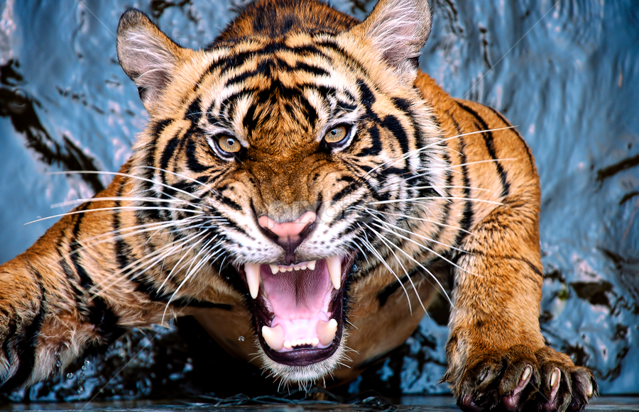 tiger scream by Robert Cinega - Animals Lions, Tigers & Big Cats ( staff favorites, tiger, fantastic wildlife,  )