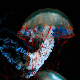 Jellyfish- Float by Melinda Klein - Animals Sea Creatures ( jellyfish, sea creatures, underwater life, ocean life )