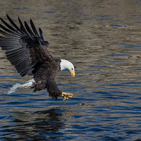 Grabbing a quick lunch by Jerry Alt - Animals Birds ( eagle, fish )