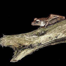 Waiting... by Dương Dương Phan - Animals Amphibians ( macro, nature, vietnam, chew, chàng hiu )