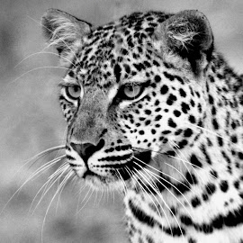 Léo at Mahongo in Namibia. by Lorraine Bettex - Black & White Animals