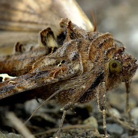Silver Y Moth by Pat Somers - Animals Insects & Spiders