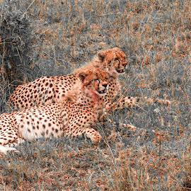 Satiated by Avanish Dureha - Animals Lions, Tigers & Big Cats ( canon, ashnil mara, masai mara, wildlife, kenya )