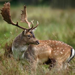 Fallow by Bob Rawlinson - Animals Other ( deer )