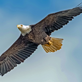 Bald Eagle.... by Ioannis Alexander - Animals Birds ( raptor, bird of prey, eagle, bald eagle, wildlife,  )