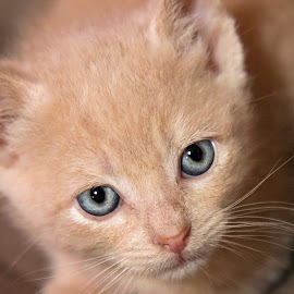 blue eyes by Brook Kornegay - Animals - Cats Kittens (  )