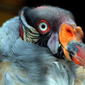 King Vulture by Ralph Harvey - Animals Birds ( bird, vulture, wildlife, ralph harvey, longleat )