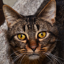 Golden Eyes by Michael Cowan - Animals - Cats Portraits ( cat, shelter, adopt )