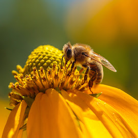 Bee by John  Bucy - Animals Insects & Spiders ( bee, inniswood metro park, yellow, sunlight, bokeh, flower )