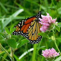 Monarch (Milkweed Butterfly)