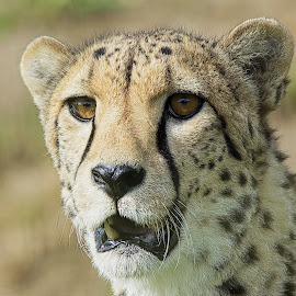 Cheetah Smiling - portrait by Fiona Etkin - Animals Lions, Tigers & Big Cats ( big cat, cheetah, nature, wildlife, feline, teeth, smiling, animal )
