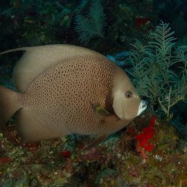 Gray Angelfish by David Gilchrist - Animals Fish ( underwater, fish, underwater photography, angelfish, animal )