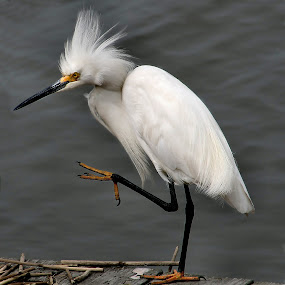 Egret by Roger Becker - Animals Birds ( bird, nature, wildlife )