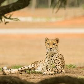 The Look by Madhujith Venkatakrishna - Animals Lions, Tigers & Big Cats
