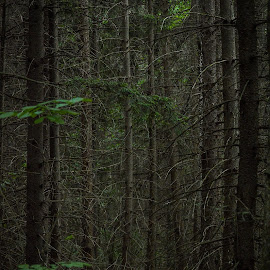Lost in the Woods by Rosette Doyle - Landscapes Forests ( darkness, forest nature trees woods )