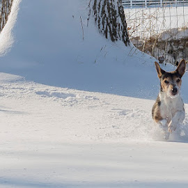 Dashing through the Snow by Maddy McCarthy - Animals - Dogs Running ( #ishotthis, #canine, #femaleperspective, #snowdog, #myhobby, #colourinthecountry )