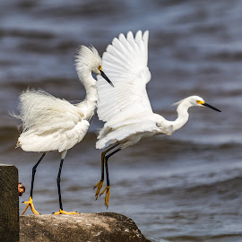 Snowy Egrets fishing by Shutter Bay Photography - Animals Birds ( nature, waterscape, fishing, snowy egret, birds )