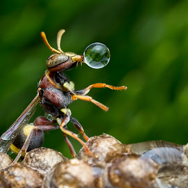 Wasp 170126A by Carrot Lim - Animals Insects & Spiders ( reflection, macro, wasp, colors, water droplet )