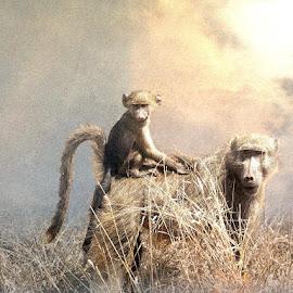 Catching a Ride by Bjørn Borge-Lunde - Digital Art Animals ( wild animal, wilderness, baboon, nature, monkeys, ape, africa )