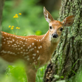 Fawn in the Forest by Emily Carter Mitchell - Animals Other Mammals ( national park, wildlife, virginia, shenandoah, shenandoah national park )