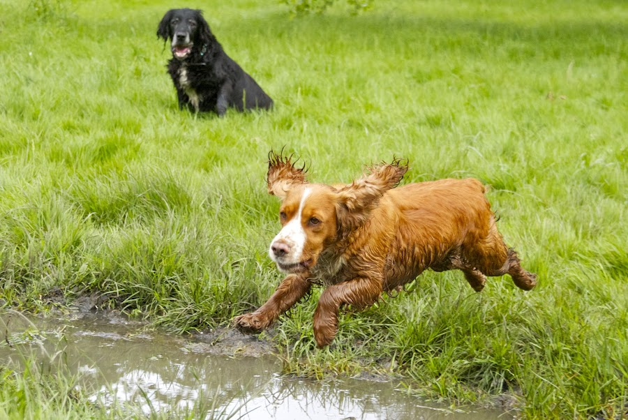 by James Blyth Currie - Animals - Dogs Playing