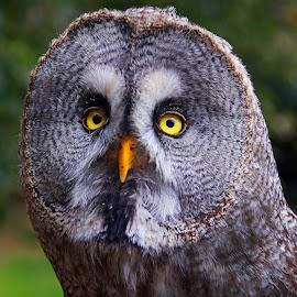 Great Gray Owl by Wilson Beckett - Animals Birds