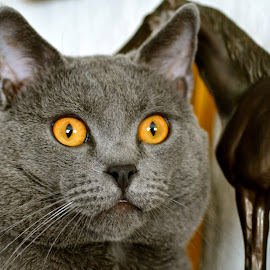 Hugo, Chartreux by Serge Ostrogradsky - Animals - Cats Portraits