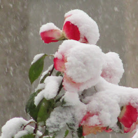 Snow On The Roses  by Howard Sharper - City,  Street & Park  City Parks ( winter flower, winter, park, snow, snowy,  )