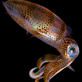 Juvenile Squid by Rico Besserdich - Animals Sea Creatures ( aquatic, underwater, underwater photography, sea, ocean, rico besserdich, juvenile, squid, animal )