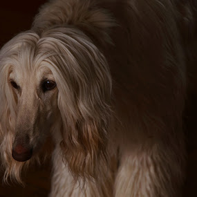 Afghan Hound by Lacy Gillott - Animals - Dogs Portraits ( love, hound, afghan, puppy, beauty, dog )