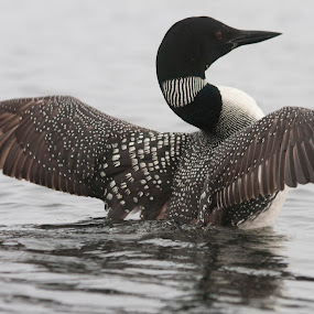 Fourth Lake Loon by Peter Andrusyszyn - Animals Birds ( loon )