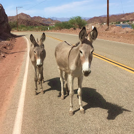 They Stopped and Posed for Me by Eric Michaels - Animals Other Mammals ( highway, mother and baby, donkey, arizona, burro, wild burros, cute, docile, shadows )