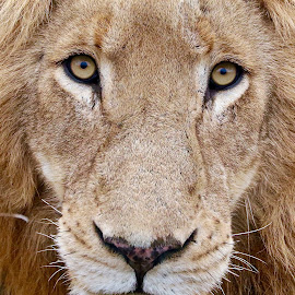 by Anton Campbell-Harris - Animals Lions, Tigers & Big Cats ( wild animal, lion, predator, panthera leo, lioness, south africa, kruger, game )
