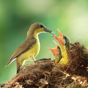 Feeding with love by Prachit Punyapor - Animals Birds