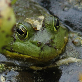 Bullfrog by Jo Anne Keasler - Novices Only Wildlife