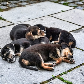 Deep sleep by Bojan Kuburovic - Animals - Dogs Puppies ( dogs, street, lovely, puppy, sleeping, dog, cute dog )