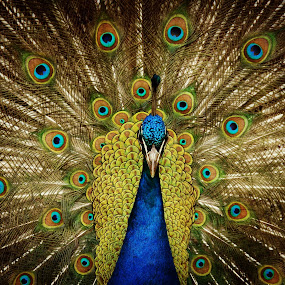 Peacock strutting by Jackson Visser - Animals Birds ( feathers, exotic, peacock )