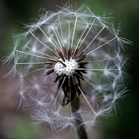 Dandelion 1 by Daniel Gorman - Nature Up Close Flowers - 2011-2013 ( plant, dandelion, seed, plants, seeds, flowers, flower, dandelion seeds,  )