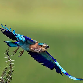 INDIAN ROLLER TAKES TO FLIGHT by Mohan Munivenkatappa - Animals Birds